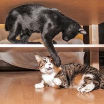 He adoptado a otro gato…y ¿ahora qué hago?